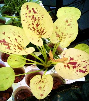 Echinodorus 'Yellow Sun'