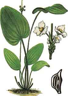 Echinodorus pubescens