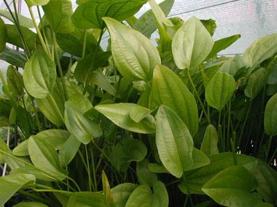 Echinodorus-radicans