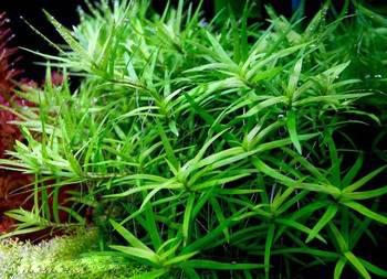 Heteranthera_zosterifolia