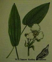 easchersonianus