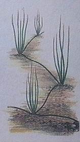 eleocharis par