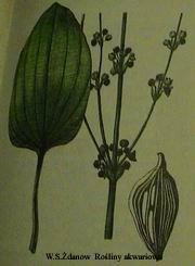emacrocarpus