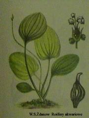 epalaefolius