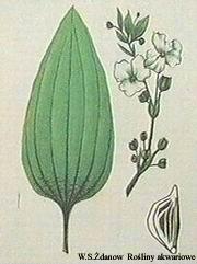 epaniculatus