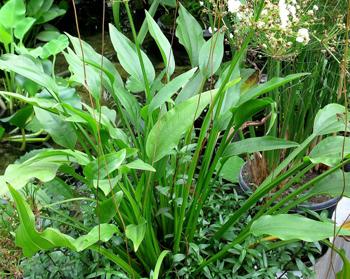 epaniculatus1