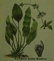 eparviflorus
