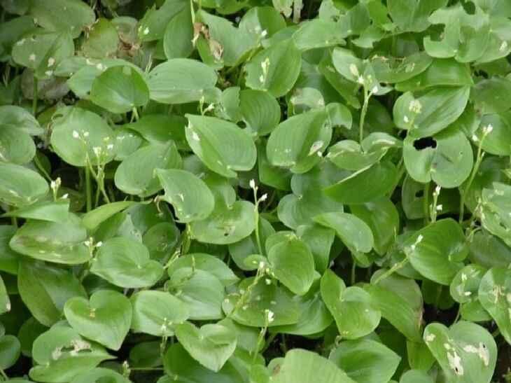 heteranthera-callifolia