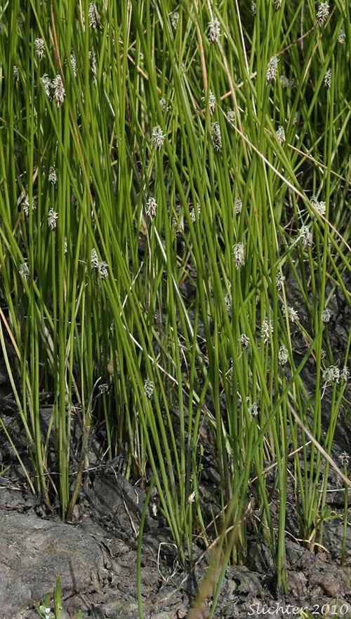 palustris