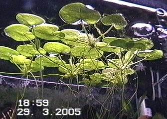 Modernistyczne Hydrocharis morsus - ranae - Akwa-Mania CC78