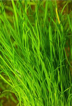 Lilaeopsis muritiana
