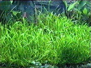 lilaeopsisn