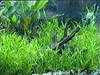 lilaeopsisp