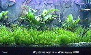 lileopsisb