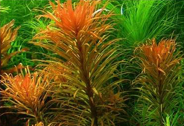 8Ludwigia_inclinata_verticillata_Pantanal1