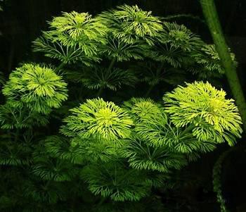 Limnophila_sessiliflora2