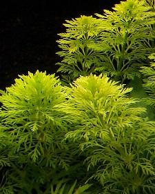 limnophila heterophylla