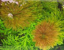 limnophila heterophylla(2)