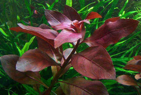 ludwigia-rubin-