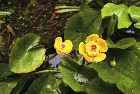 Nuphar pumilum1