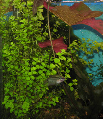 mikranthemum