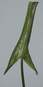 njaponica5