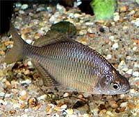 acheilognathus-longipinnis