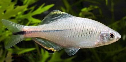 acheilognathus-meridianus