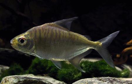 acnodon-normani