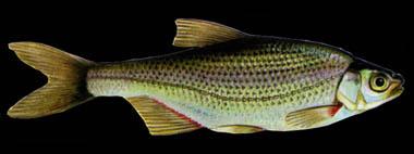 alburnoides-bipunctatus