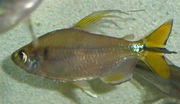 alestopetersius-caudalis