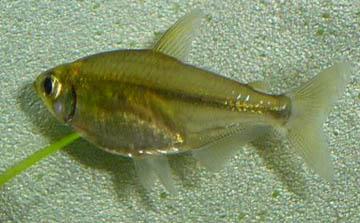 alestopetersius-caudalis1