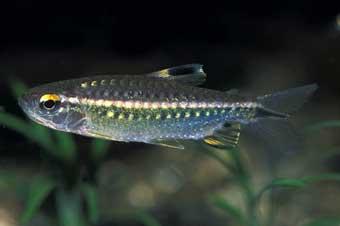 arnoldichthys-spilopterus
