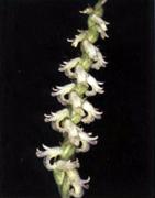 spiranthes-graminea