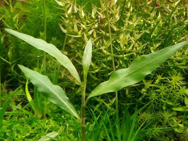persicaria-hydropiperoides-1