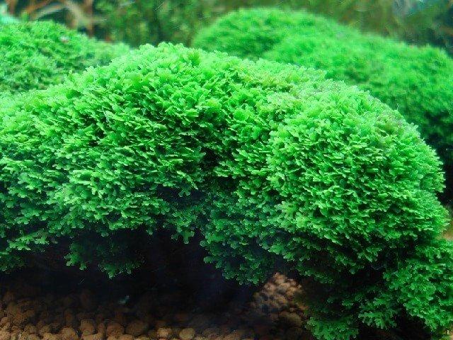 riccardia-chamedryfolia