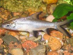 balanteocheilus-melanopterus
