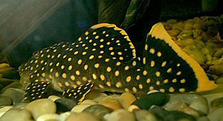 baryancistrus-xanthellus