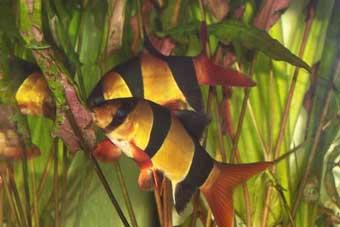 botia-macracanthus