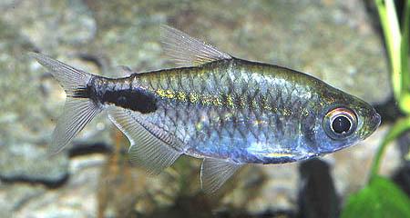 brachypetersius-pseudonummifer