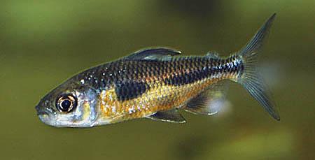 bryconaethiops-boulengeri