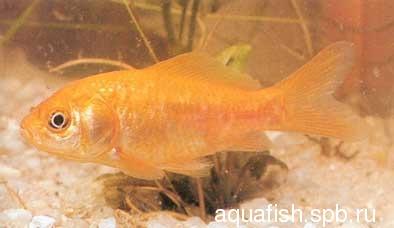 carassius-auratus