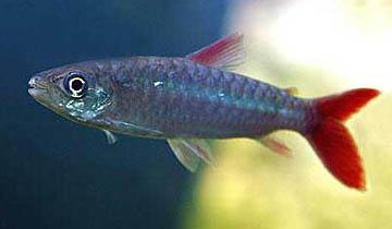 chalceus-macrolepidotus