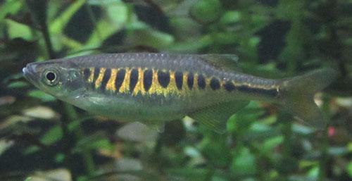 devario-auropurpureus