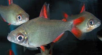 distichodus-affinis