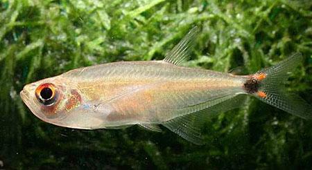 gnathocharax-steindachneri