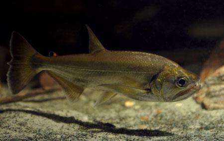 hydrolycus-armatus
