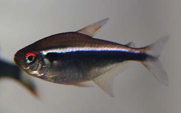 hyphessobrycon-herbertaxelrodi
