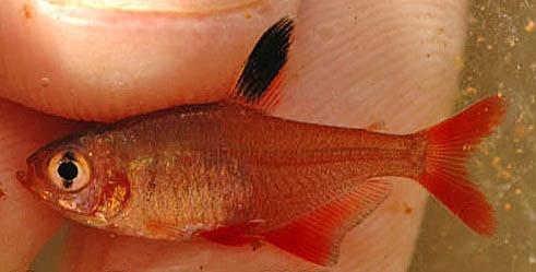 hyphessobrycon-micropterus