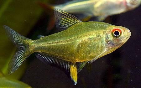 hyphessobrycon-pulchripinnis